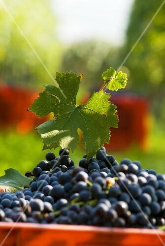 Nebbiolo grapes, Piedmont, Italy