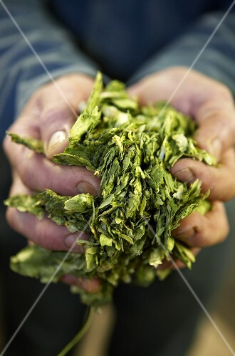 Hops in someone's hands