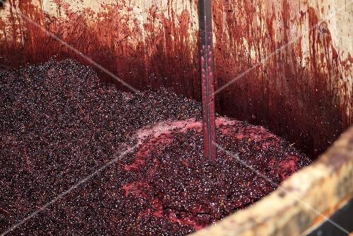 Pinot Noir grapes fermenting, De Loach Vineyards, Sonoma, California