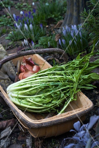 Puntatelle (Italian chicory), picked, in winter garden