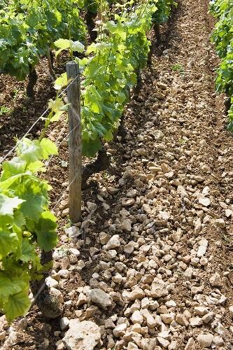 Stoney terroir in the Chambertin region, Burgundy, France