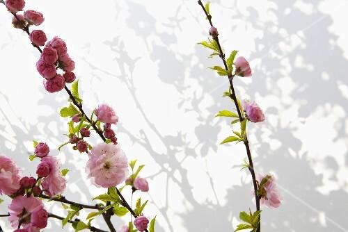 Sprigs of almond blossom