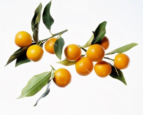 Kumquats on Branches