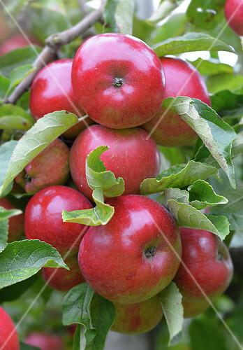 Jonagold apples on the tree
