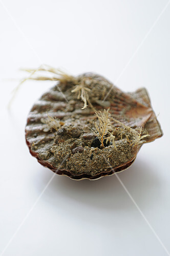 Scallop in it's shell before opening