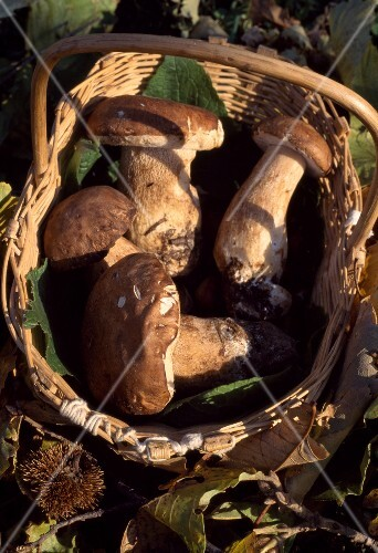 Basket of Cep mushrooms