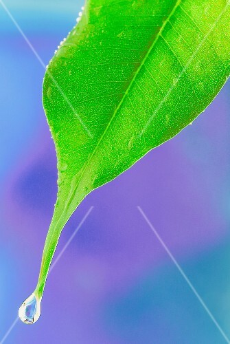 Drop of water on leaf