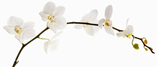Branch of wild orchid