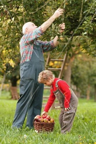 Man and child picking apples