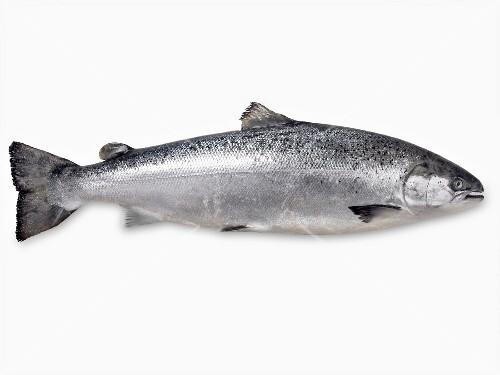 Whole raw salmon