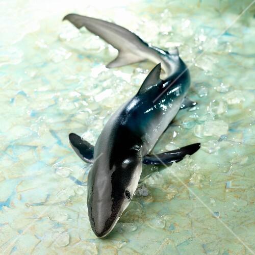 Small raw shark