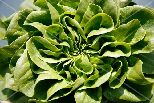 Close up of a green lettuce