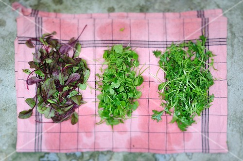 Three different varieties of lettuce drying on a cloth