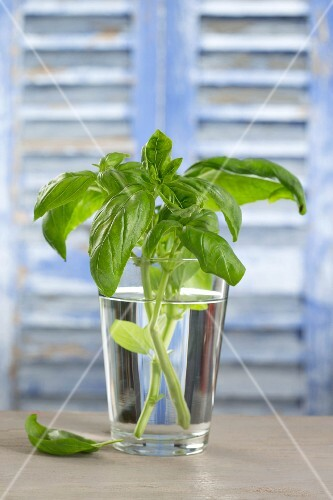 Branches of basil in a glass of water