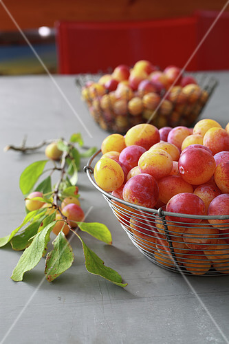 Freshly picked mirabelles in a wire basket
