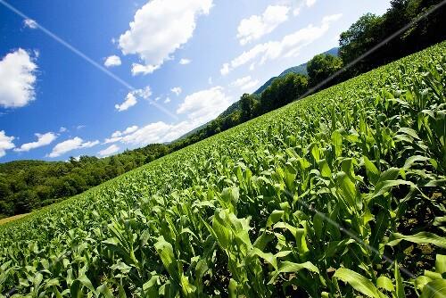 Corn Field in Vermont