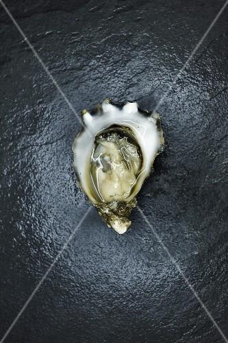 A Single Kumamoto Oyster