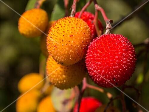 Madroño, Strawberry Tree Arbutus unedo. Sierra Blanca forest near Refugio Juanar, Ojen Malaga province Costa del Sol. Andalusia southern Spain.